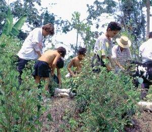 coca cultivos