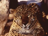 greenpeace jaguar